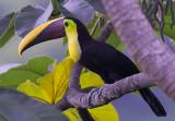 Chestnut mandibled toucan III.jpg