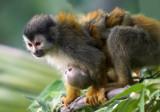 Nursing Squirrel monkey II.jpg