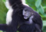 Hold on baby Capuchin.jpg