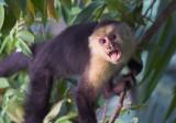 Capuchin just off balcony II.jpg