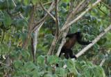Howler monkey moving high in canopy.jpg