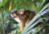 Squirrel Monkey and baby.jpg
