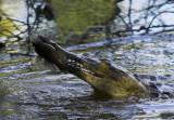 Crocodile lunch.jpg