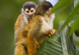 Squirrel monkey with baby at CDR III.jpg