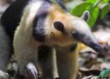Tamandua anteater VI.jpg