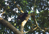 Howler monkey near beach at CDR.jpg