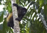 Howler monkey Matapalo road IV.jpg