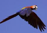 Scarlet Macaw near Carate IX.jpg