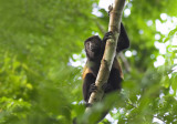 Howler monkey Matapalo road.jpg