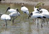 Wood Storks in lagoon.jpg