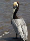 Brown Pelican 2.jpg