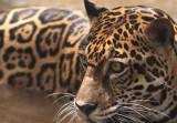 Jaguar VI.jpg