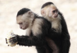 Capuchins at Cahuita National Park III.jpg