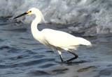 Snowy Egret III.jpg