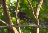 Crested Cara Cara  near Jaco.jpg