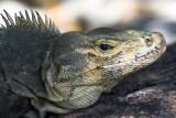 Iguana  MA  NP II.jpg