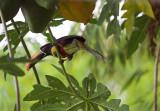 Aracari loves Papaya.jpg