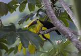 Chestnut mandibled toucan off balcony.jpg