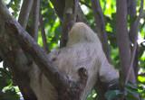 Two-Toed Sloth   Hacienda Baru NWR.jpg