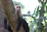 Capuchin II  Hacienda Baru NWR.jpg