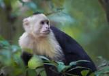 Capuchin   Manuel Antonio.jpg