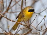 Vireos, Wood-Warblers
