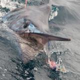 Marlin 30.jpg