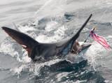 Marlin 39.jpg