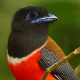 Parrots, trogons, leafbirds and sunbirds