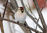 HOARY REDPOLL (male - individual no. 2)
