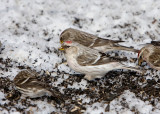 HOARY REDPOLL (male - individual no. 1)