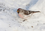 HOARY REDPOLL (male - individual no. 4)