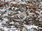 HOARY REDPOLL (male - individual no. 5)