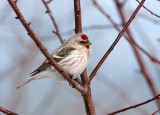 HOARY REDPOLL (male - individual no. 3)
