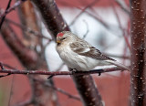 HOARY REDPOLL (male - individual no. 6)