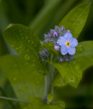 wild forget-me-not (Audibon Ranch, Bolinas CA)