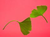 Twin Gingko biloba leaves