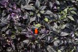 Ornamental Peppers Calico_1.JPG
