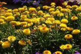 Bracteantha Starburst Yellow_1.JPG
