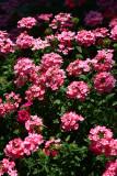 Verbena Twinkle Dark Pink_1.JPG