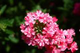 Verbena Twinkle Dark Pink_3.JPG