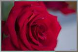 ... birthday rose