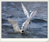 鱼口夺食 fish seizer