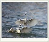 fish seizer - Little Egret
