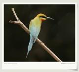 Àõºí·ä»¢ Blue-tailed Bee-eater