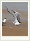 ºÚ×ì¶Ë·ïÍ·ÑàŸ Chinese Lesser Crested Tern