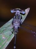 Megapodagrionidae