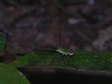 Dicteriadidae