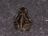Common spadefoot - Pelobates fuscus - Knoflookpad