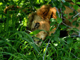 lions_3